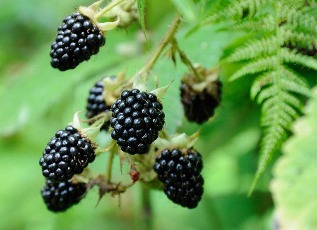 Blackberries - Assortment