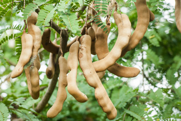 Image result for unripe tamarind