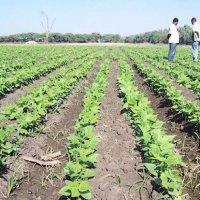 Sugar snap peas have enormous potential in snack food segment