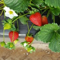 2018 Calinda strawberry season