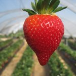 Local and Spanish strawberries to tempt the consumer