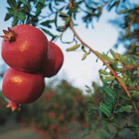 &lb; Pomegranates PeruCalibre  8 - 12&lb;