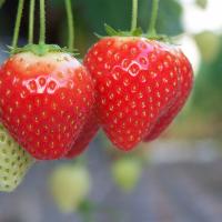 Strawberries: the start of the glass-house season