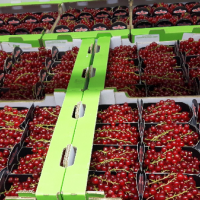 Red currants Rovada Belgium