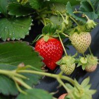 Calinda, healthiest strawberry!