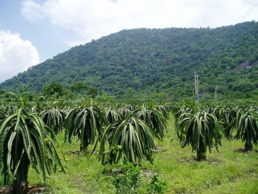 pitahaya grower2