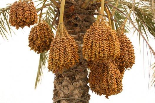 Date in Fujairah