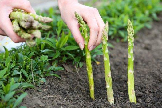 learn-grow-endless-supply-asparagus