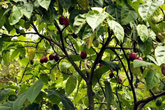 tamarillo-tree