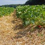 Aardbei strawberryfield