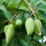 NamDokMai-tree
