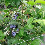 blauwe bes Soft Fruits Bilzen -Juni2016-11 (2)
