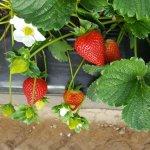 Calinda aardbeien seizoen 2018