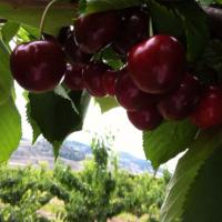 Cherries CanadaFresh harvest is on the wayarrival beginning next week