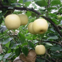 Fall in love with our fall products...&lb;&lb;Chinese Nashi pearsThe subtle taste of Asia, freshly harvested5 or 9 kg&lb;